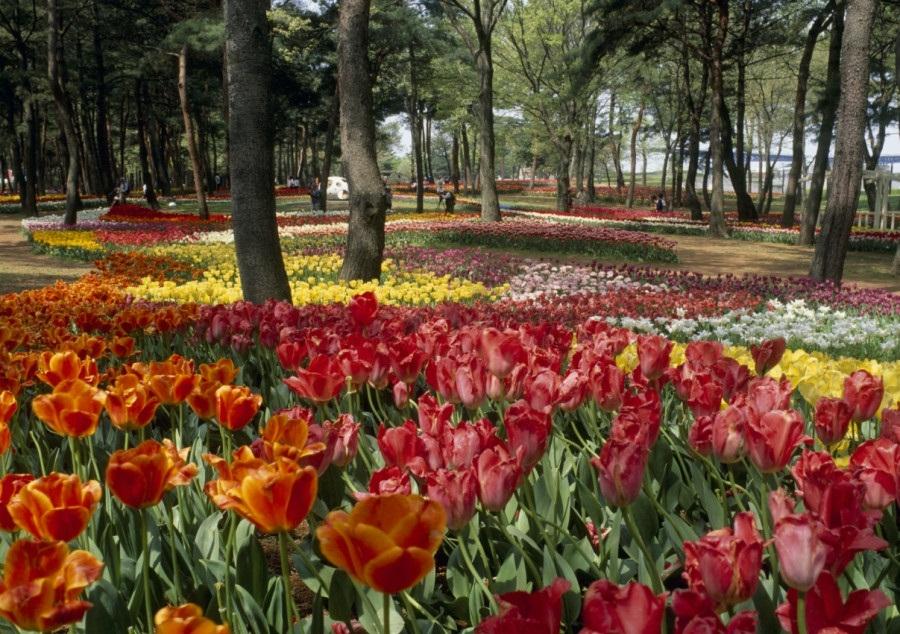 Tulip, Hitachinaka, Ibaraki, Japan