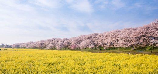 KANTO – 7 địa điểm ngắm hoa anh đào siêu hot năm 2021