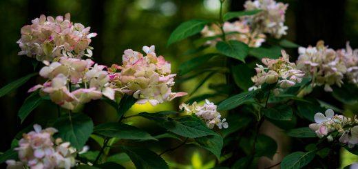 Vườn cẩm tú cầu đủ màu sắc nở rộ ngay sát bên Tokyo, lại vào cửa miễn phí