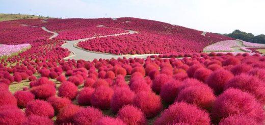 Giới hạn khách tham quan đồi cỏ đổi màu kochia ở công viên Hitachi Kaihin để phòng chống lây nhiễm Covid-19
