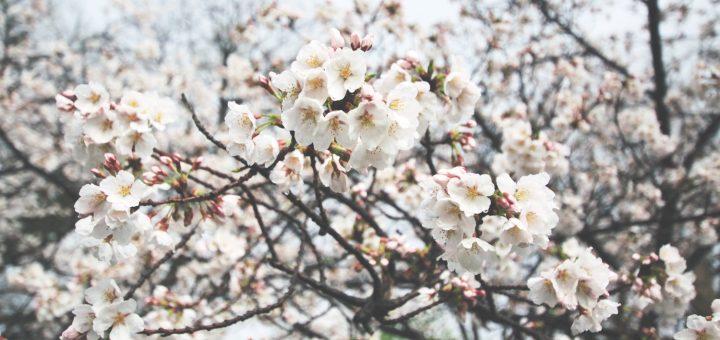10 สถานที่แนะนำสำหรับชมดอกซากุระทั่วญี่ปุ่น !!