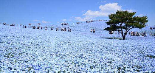 ชมทุ่งดอกไม้สีน้ำเงินฟ้า