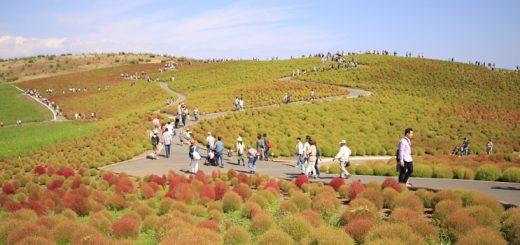 ไปชมทุ่ง Kochia ที่สวน Hitachi Seaside Park ด้วยกันมั้ย?