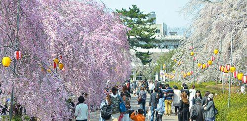 แนะนำ 6 สถานที่ชมซากุระที่สวยงามที่สุดในเซนได-Sendai