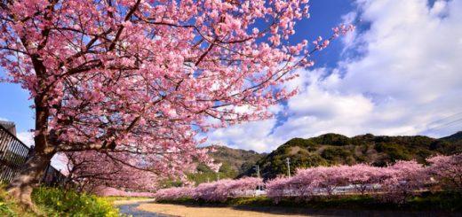 ปีใหม่นี้ลองไปเที่ยวชม งานเทศกาล Kawazu-Sakura Festival 2018 กันเถอะ!