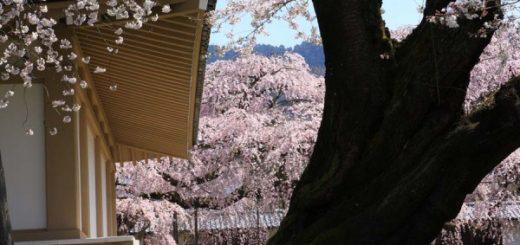 แนะนำจุดชมซากุระที่น่าไปในเกียวโต-Kyoto