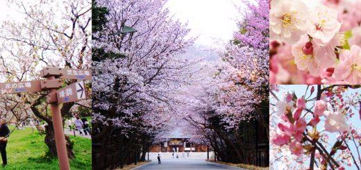 เที่ยวฮอกไกโดฤดูใบไม้ผลิ กับ 4 จุดชมซากุระที่สวยที่สุดในซัปโปโร!
