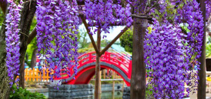แนะนำสถานที่ชมดอกวิสทีเรียและอุโมงค์ดอกไม้แสนสวยต้อนรับฤดูใบไม้ผลิที่กำลังมา