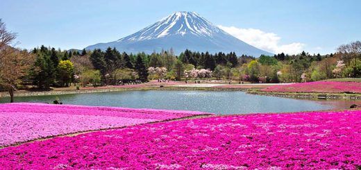เทศกาลทุ่งดอกไม้สีชมพู Fuji shiba-sakura 2018 มาแล้ว ! ลิสต์ไว้เลยเมษายน-พฤษภาคมนี้ไปเที่ยวกัน