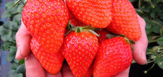 ต้อนรับฤดูใบไม้ผลินี้ ด้วยการไปเก็บสตรอว์เบอร์รี่สีแดงฉ่ำลูกโตที่ฟาร์มใกล้โตเกียวกันเถอะ!