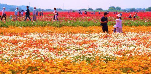 พฤษภาคมนี้ไปดูดอกป็อปปี้ที่ไซตามะกันไหม? นี่เลย 3 ทุ่งดอกป็อปปี้ที่เขาว่ากันว่าคือที่สุดในญี่ปุ่น!