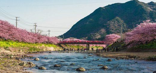 เส้นทางปั่นจักรยานไปดู Kawazu-Sakura ซากุระสีชมพูสดกับพี่ม้า