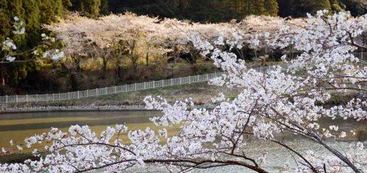 2 ที่ชมซากุระสวย ที่คนไทยยังไม่ค่อยไป ไม่ไกลจากเมืองโตเกียว ที่เมืองอิจิโนะมิยะ จังหวัดจิบะ