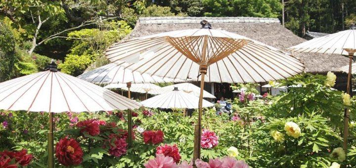 ชมดอกโบตั๋นที่สวน Mobara peony garden