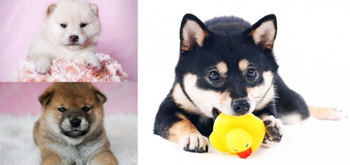 มารู้จักความแตกต่างของชิบะอินุและมาเมะชิบะกันเถอะ!