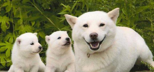 Kai - kun น้องหมาจากโฆษณามือถือค่าย SoftBank ที่โด่งดังไปทั่วญี่ปุ่นเสียชีวิตแล้ว