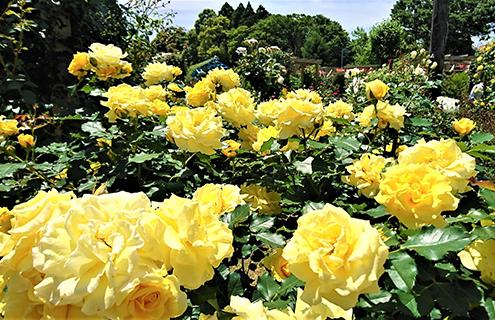 ชมดอกกุหลาบ (Autumn Rose) นับร้อยที่สวน Hill Top Rose Garden เมืองอิจิโนะมิยะ จังหวัดจิบะ