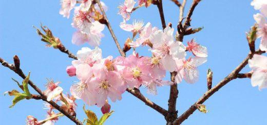 ชมซากุระบานก่อนใครในงาน Kawazu-Sakura festival 2019 เริ่ม ก.พ. เมืองที่ซากุระบานเร็วสุดในภาคคันโต