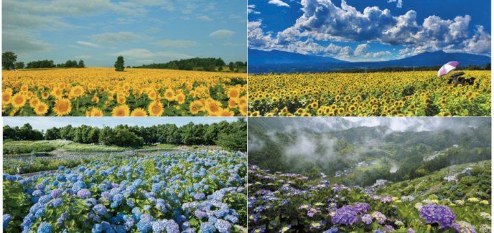 ชวนชมดอกทานตะวันและดอกไฮเดรนเยีย สัญลักษณ์แห่งฤดูร้อนที่ญี่ปุ่น