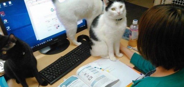 เล่นกับแมวแล้วไม่เครียด! บริษัทใหญ่ในญี่ปุ่นอนุญาตให้พาน้องมาทำงานด้วยได้เลย