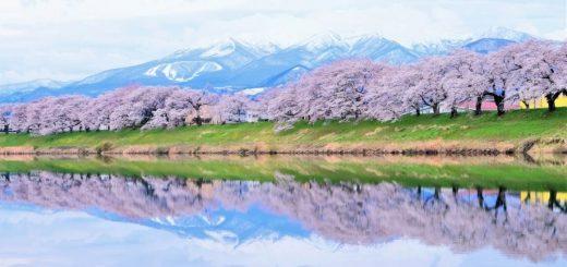 บานสะพรั่งไปด้วยสีชมพู ! เทศกาลซากุระโองาวาระริมฝั่งแม่น้ำชิโรอิชิ จังหวัดมิยากิ