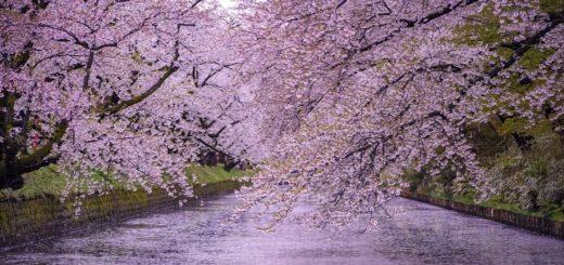 แนะนำสถานที่ชมซากุระที่ดีที่สุดในภูมิภาคโทโฮคุ
