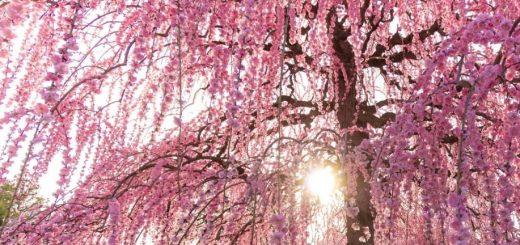 5 จุดชมดอกอุเมะบานสะพรั่งที่ดีที่สุดในญี่ปุ่น !!
