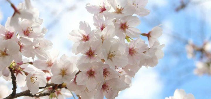 พลิกวิกฤตเป็นโอกาส ! เว็บพยากรณ์อากาศญี่ปุ่นสุดเก๋ ผุด Sakura VR เอาไว้ชมดอกไม้ในวันที่ไวรัสบุก